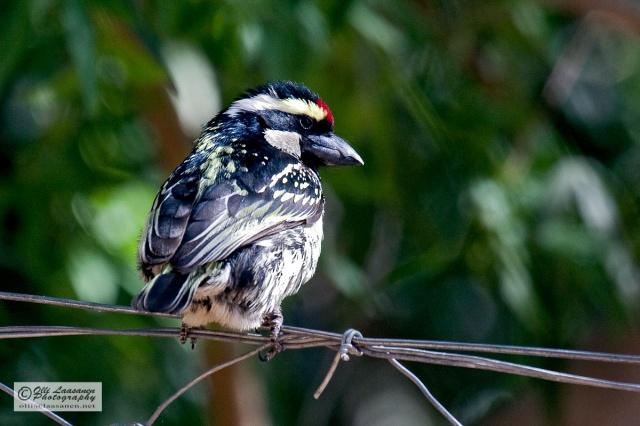 Acacia Pied Barbet - Pikikurkkuseppa