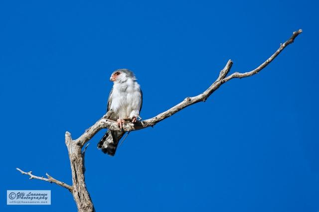 African Pygmy Falcon - Afrikankaapiohaukka