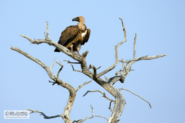 White-backed Vulture - Savannikorppikotka