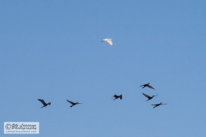 One cattle egret flies with the cormorants.