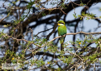 Swallow-tailed Bee-eater - Haaramehilaissyoja