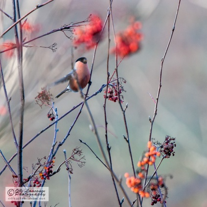 A male bullfinch eating rowan berries early May
