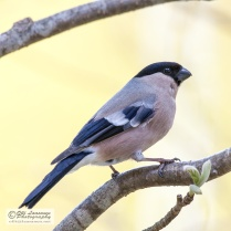 A female bullfinch early May