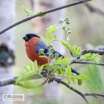A male bullfinch late May