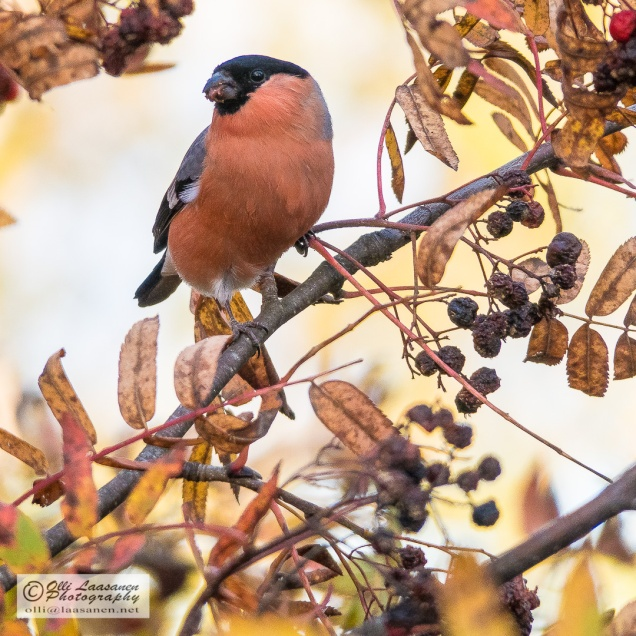 A male bullfinch in a rowan early October