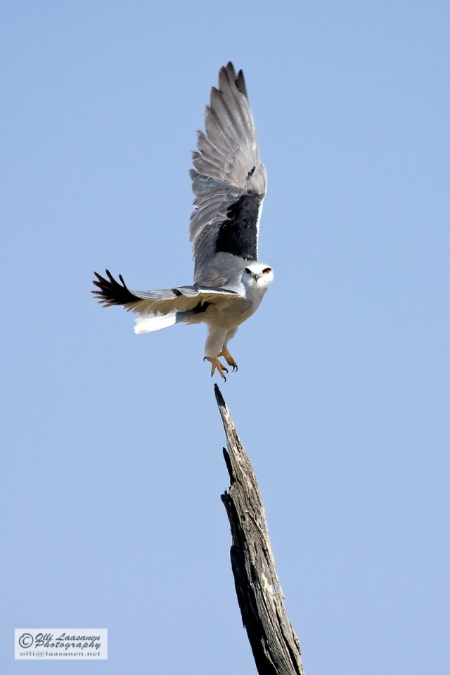 Black-winged Kite - Liitohaukka