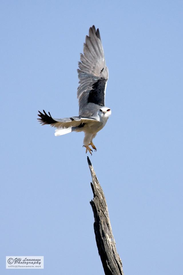 Black-winged Kite - Liitohaukka